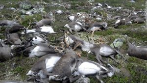 In a most frightening and freakish event, over 300 reindeer in Norway were all killed by a single lightning strike.